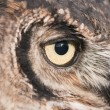 American owl, Bubo virginianus, with yellow eyes — Stock Photo