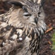 Stock Photo: EurasiEagle-owl (Bubo bubo) is species of eagle owl residen
