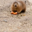Stock Photo: Prairie dogs (Cynomys) are burrowing rodents native to grass