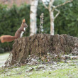 Red squirrel or Eurasian red squirrel (Sciurus vulgaris) - Stock Photo