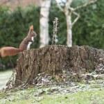������, ������: Red squirrel or Eurasian red squirrel Sciurus vulgaris