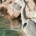 Gray heron, Ardea cinerea, facing the sun — Stock Photo #8482423