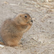 Prairie dogs (Cynomys) are burrowing rodents native to the grass — Stock Photo #8482459