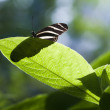 Stock Photo: Tropical Butterfly basking in sun on leaf