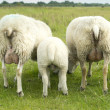 Foto de Stock  : Group of sheep