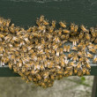 Group of bees — Stock Photo #8485765