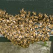 Stock Photo: Group of bees