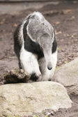 Giant Anteater, Myrmecophaga tridactyla, is the largest species — Stock Photo
