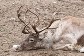 Reindeer (Rangifer tarandus), also known as the caribou in North — Stock Photo