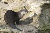 European Otter (Lutra lutra), Eurasian river otter, common otter — Stock Photo