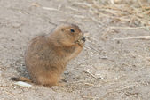 Prairie dogs (Cynomys) are burrowing rodents native to the grass — Stock Photo