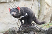 Rare Tasmanian devil (Sarcophilus harrisii) — Stock Photo