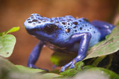 Blue poisonous frog of central america rain forest — Stock Photo