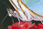 Macro of a tropical butterfly sucking sugar liquid from an artif — Stock Photo