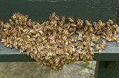 Gruppo delle api — Foto Stock