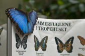 Blue Morpho on identification sign — Stock Photo