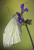 White Butterfly on Blue Flowers — Stock Photo