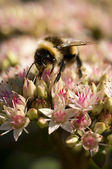 Bumble Bee on Flowers — Stock Photo