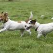 Dogs running on green grass — Stock Photo