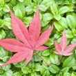 Stock Photo: Red leaves of Maple on green grass