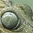 Closeup of a geko eye — Stock Photo