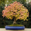 Maple tree bonsai — Stock Photo