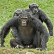 Постер, плакат: A family of chimpanzees with dominant male in defence posture