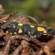 Fire Salamander among humid, dead leaves (Salamandra salamandra) — Stock Photo