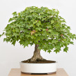 Old, artistic, Maple tree bonsai in Spring — Foto Stock #8505628