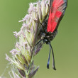 Zygaena butterfly on meadow spike in green background — Stock Photo