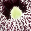 Closeup of a Aristolochia flower, birthworts, pipevines, Dutchman&#039;s pi - Stock Photo