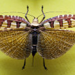 Tropical grasshopper collected with wings open — Stock Photo
