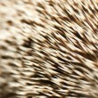 Stock Photo: Closeup of spines of hedgehog