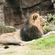 Male Asiatic lion (Panthera leo persica) is a rare subspecies of the lion — Stock Photo