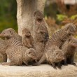 Group of Banded Mongoose (Mungos mungo) - Stock Photo