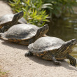 Stock Photo: Three turtles basking in midday sun