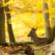 Female red deer sitting on a wood ground in autumn — Stock Photo