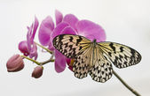 Tropical butterfly on pink orchids and white background — Stock Photo