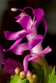Fine art flower photography, Pink flowers of the succulent plant Christmas — Stock Photo