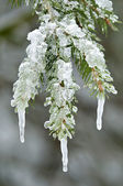 Ice formations on a mountain tree — Stock Photo