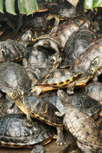Basking group of red-eared, Florida turtles — Stock Photo