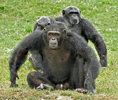 A family of chimpanzees with dominant male in defence posture — Stock Photo