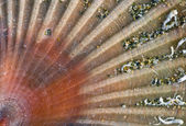 Closeup of a Stranded sea shell, Pecten — Stock Photo