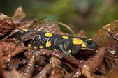 Fire Salamander among humid, dead leaves (Salamandra salamandra) — Stock Photo