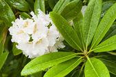 Flores ornamentais de azaléia branca e folhas verdes sob a chuva — Foto Stock