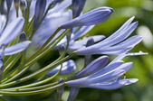 Ornamental blue allium flowers in backlight — Stock Photo