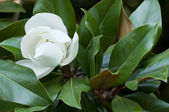 Flower of the Magnolia grandiflora, the Southern magnolia or bull bay, tree — Stock Photo