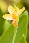 Orange dotted yellow flower of Iris in green background — Stock Photo