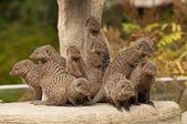 Group of Banded Mongoose (Mungos mungo) — Stock Photo