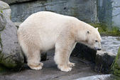 White polar bear of the artic sea — Stock Photo